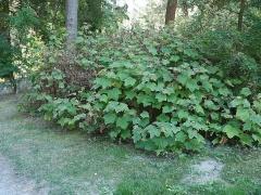 Rubus parviflorus, Thimbleberry -- Rubus parviflorus, Thimbleberry
