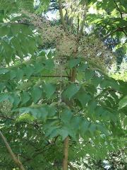 Aralia spp. -- Aralia spp.
