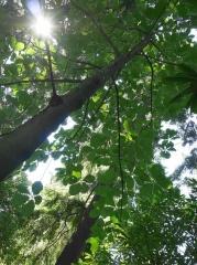 Magnolia tripetala -- Magnolia tripetala