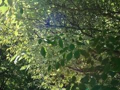 Cornus alternifolia, Pagoda Dogwood -- Cornus alternifolia, Pagoda Dogwood