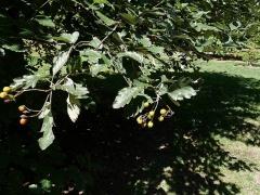 Sorbus dacica -- Sorbus dacica