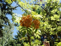 Sorbus commixta -- Sorbus commixta