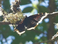 Camberwell Beauty or Mourning Cloak butterfly -- Camberwell Beauty or Mourning Cloak butterfly resting high up on a branch