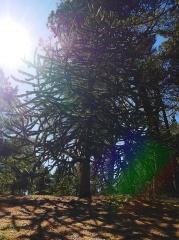 Monkey Puzzle tree -- Monkey Puzzle tree