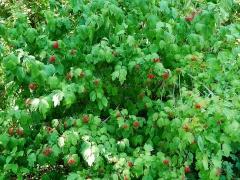 Viburnum, Highbush cranberry? -- Viburnum, Highbush cranberry?