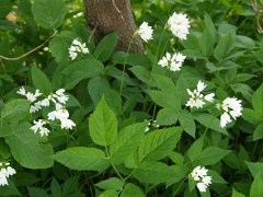 Naturalising and spreading -- Naturalising and spreading in a hedge in my garden together with ground elder / skvallerkål!