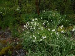 Allium zebdanense and Trillium -- Allium zebdanense and Trillium