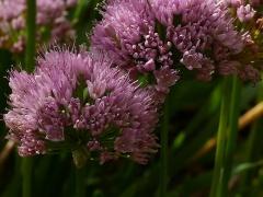 Floriferous late flowering Allium senescens x nutans -- Floriferous late flowering Allium senescens x nutans