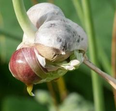 Large bulbilled Swedish Garlic -- Large bulbilled Swedish Garlic