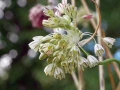 Allium rupestre -- Allium rupestre