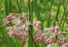 Allium paniculatum -- Allium paniculatum