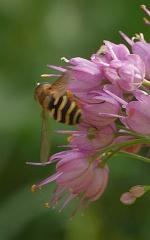 Allium thunbergii -- Allium thunbergii