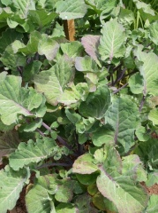 Taunton Deane's Perennial Cottagers Kale -- Taunton Deane's Perennial Cottagers Kale