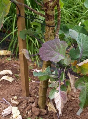Taunton Deane Perennial Kale -- Taunton Deane Perennial Kale
