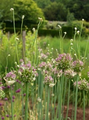 Allium ampeloprasum,an old Italian variety -- Allium ampeloprasum,an old Italian variety with aerial bulbils