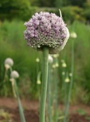 Allium ampeloprasum, Wild Leek -- Allium ampeloprasum, Wild Leek