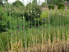 Allium ampeloprasum cultivars -- Allium ampeloprasum cultivars