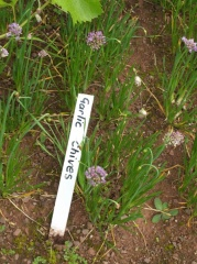 Not garlic chives -- This looks like Allium lusitanicum (Allium senescens ssp montanum)