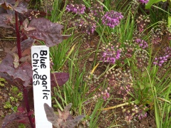 Alllium cernuum, nodding onion -- Alllium cernuum, nodding onion...not blue garlic chives (Allium nutans)