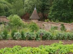Taunton Deane Perennial Cottagers Kale -- Taunton Deane Perennial Cottagers Kale