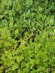 Rumex scutatus -- Rumex scutatus