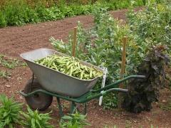 Broad Bean harvest -- Broad Bean harvest