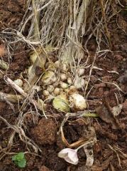 Allium ampeloprasum Pearl onions -- Allium ampeloprasum Pearl onions