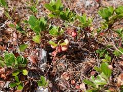 Kinnikinnick / Common Bearberry, Arctostaphylos uva-ursi -- Kinnikinnick / Common Bearberry, Arctostaphylos uva-ursi