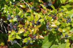 Evergreen huckleberry, Vaccinium ovatum -- Evergreen huckleberry, Vaccinium ovatum: really productive shrubs and I loved the taste!
