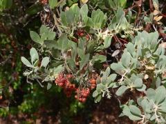 Hairy manzanita, Arctostaphylos columbiana -- Hairy manzanita, Arctostaphylos columbiana sometimes hybridizes with kinnikinnick..