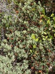 Hairy manzanita, Arctostaphylos columbiana -- Hairy manzanita, Arctostaphylos columbiana