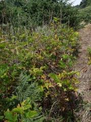 Rubus spectabilis, Salmonberry -- Rubus spectabilis, Salmonberry
