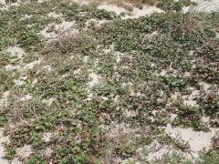 Fragaria chiloensis? -- Fragaria chiloensis