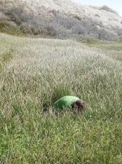 Potentilla anserina, Silverweed -- Potentilla anserina, Silverweed: Chris looks for tubers