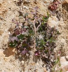 Sonchus oleraceus -- Sonchus oleraceus, Common sow-thistle: a familiar edible face!