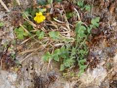 Sonchus and Mimulus -- Sonchus and Mimulus