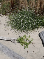 Cakiles -- Here we found both species of sea rocket next to each other on the beach....introduced C. maritima (left) and C. edentula. The latter had a much better milder taste!
