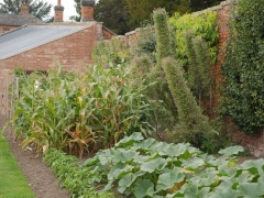 Giant self-sowing Echiums amongst the veg -- Giant self-sowing Echiums amongst the veg