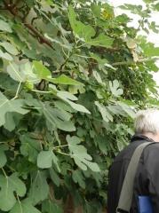 Figs -- Figs