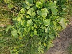Brassica nigra? -- Brassica nigra?