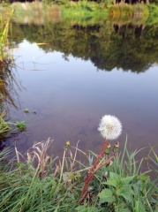 Dandelion in seed -- I didn't know it at the time, but this picture of a pissenlit in seed was taken at Wyre Piddle, where the Piddle Brook meets the River Avon... :)
