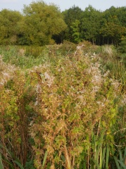 Epilobium hirsutum -- Epilobium hirsutum - edible shoots in spring and edible flowers