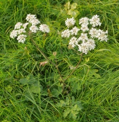 Flowering common hogweed -- Flowering common hogweed, Heracleum sphondylium