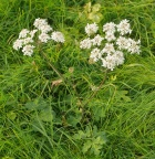 Flowering common hogweed