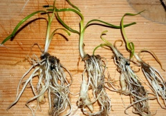 At last!! -- Thanks to my supplier Rhizowen Radix, I have water ribbons (Triglochin procera) for the first time, Tasmanian provenance, whooohoooo!