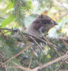 Hazel Grouse / Jerpe -- Hazel Grouse / Jerpe peeping out of a pine tree at me