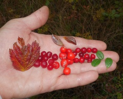 Berries -- From left to right: Rubus saxatilis (stone bramble teiebær), Cornus suecica (Dwarf cornel / skrubbær) and Vaccinium vitis-idaea (Cowberry / tyttebær)