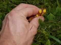 Chalciporus piperatus / Peppery bolete / Pepperrørsopp -- Chalciporus piperatus / Peppery bolete / Pepperrørsopp