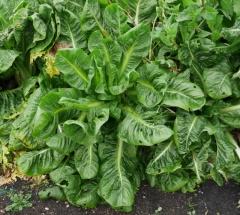Italians also grow chicories -- Italians also grow chicories