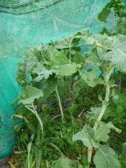 Perennial Kales -- Perennial Kales
